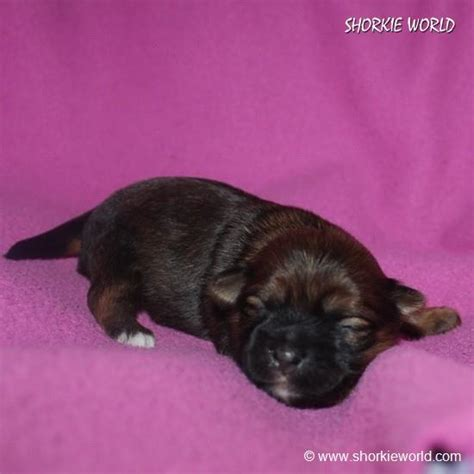 Shorkie Puppies for sale USA and Canda Shorkieworld
