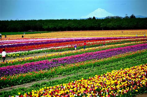 Skagit Valley Tulip Festival Washington State Tulip Festival