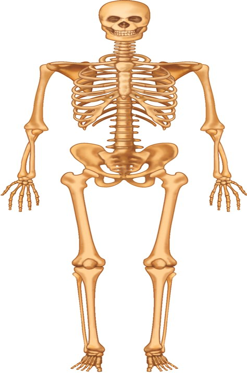 Skeletal System By KidsBiology