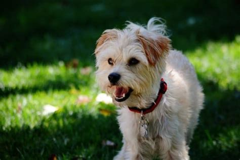 Small Breed Designer Dogs Small Dog Place