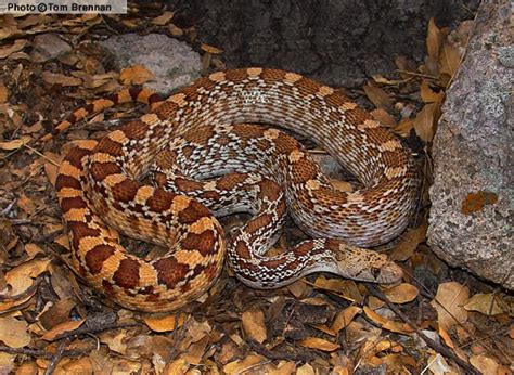 Snakes of Arizona Tom Brennan The Reptiles and