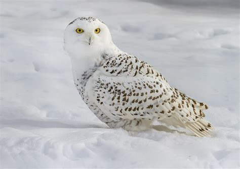 Snowy Owl Bubo scandiacus Information Pictures