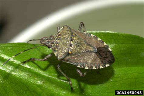 Stink Bugs Information and Pictures of Different Stink