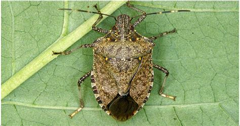 Stink Bugs in Your House