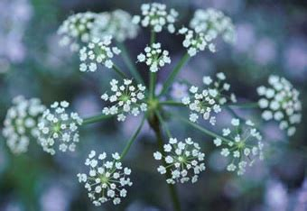 Sweet Alyssum A Profile of an Annual Flower HowStuffWorks