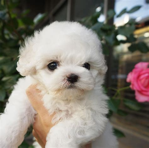 Teddy Bear Puppies Dogs with Pictures