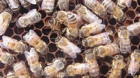 The Waggle Dance of the Honeybee YouTube