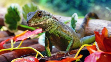The diet of Tricia s Chinese Water Dragon Page