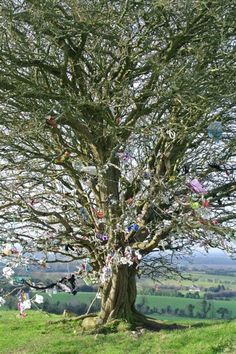 The hawthorn tree Queen of the May