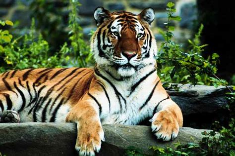 Tiger Pictures Facts fohn