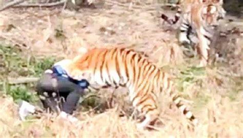 Tiger kills man at China zoo as horrified visitors watch