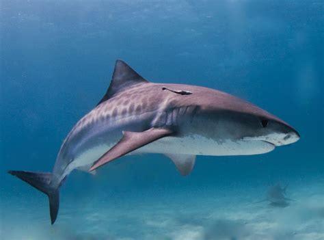 Tiger shark Wikipedia
