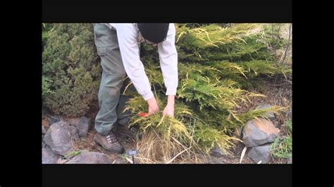 Tip Pruning a Juniper YouTube