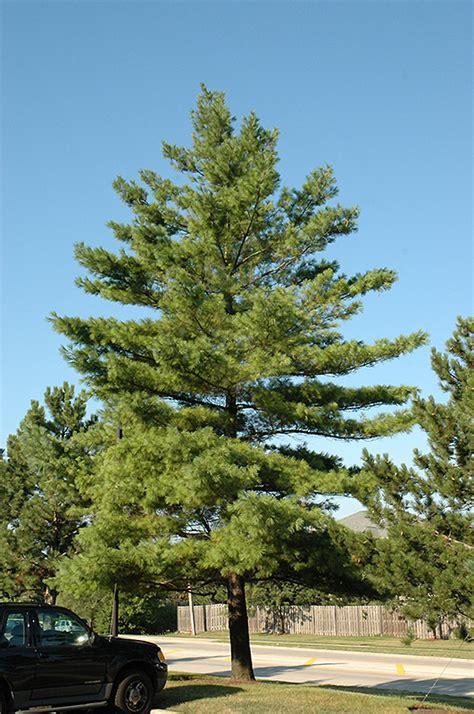 Trees of Ohio White Pine