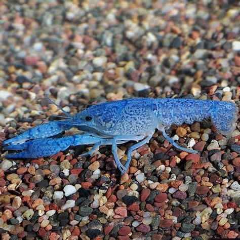 Tropical Inverts for Freshwater Aquariums Cobalt Blue Lobster