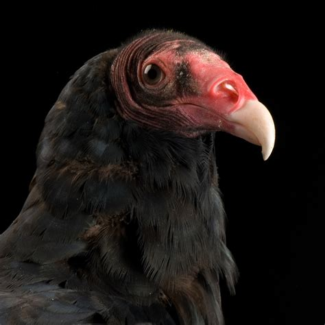 Turkey Vulture National Geographic