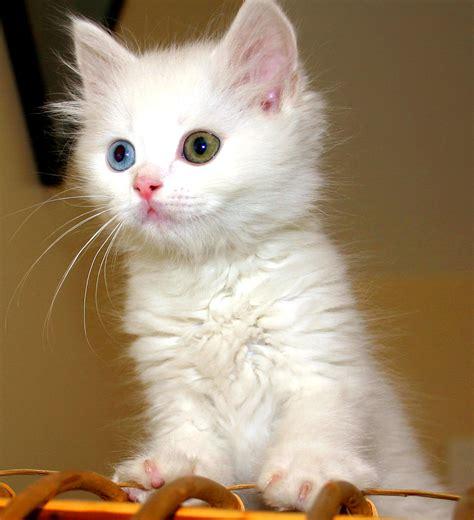 Van cat Wikipedia
