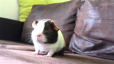 Very excited guinea pig HD YouTube