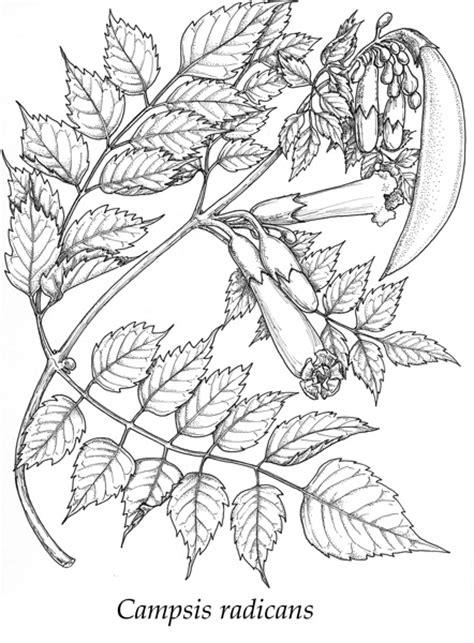 Vine Drawings by Joe A MacGown