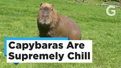 We Don t Deserve Capybaras gizmodo