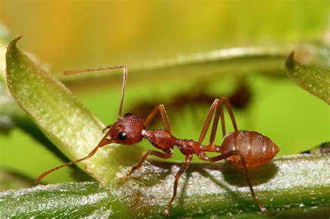 Weaver ant Wikipedia