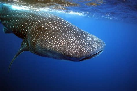 Whale shark videos photos and facts Rhincodon typus