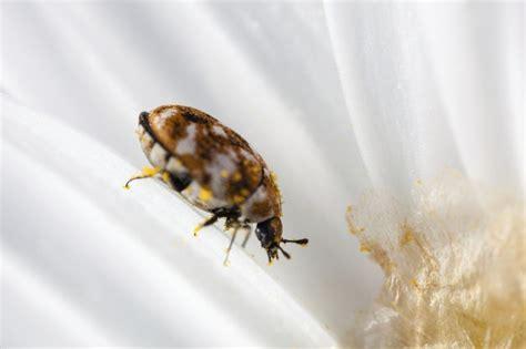What Causes Carpet Beetles Hunker