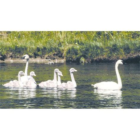 What is the Habitat of a White Swan Features and