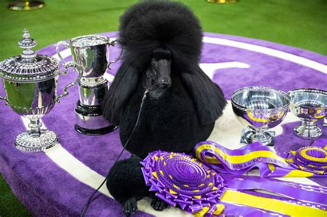 What to bring to a Dog show Showing the Standard Poodle