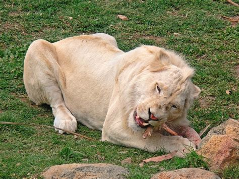 White lion Wikipedia
