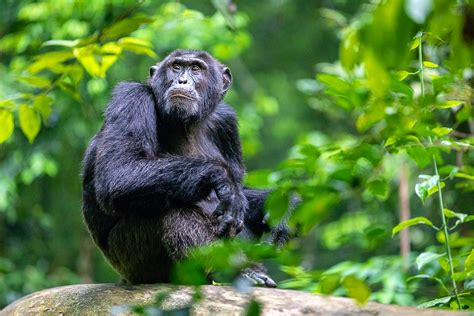 Why Chimpanzees Are NOT Pets The Intersection