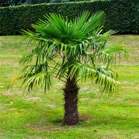Windmill Palm Tree Cold Hardy Palm Trees for Sale Fast