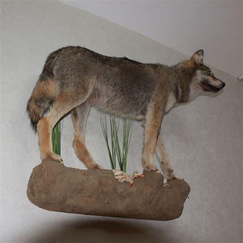 Wolf Taxidermy eBay