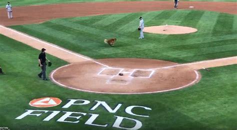 Yankees minor league bat dog runs onto field to chase