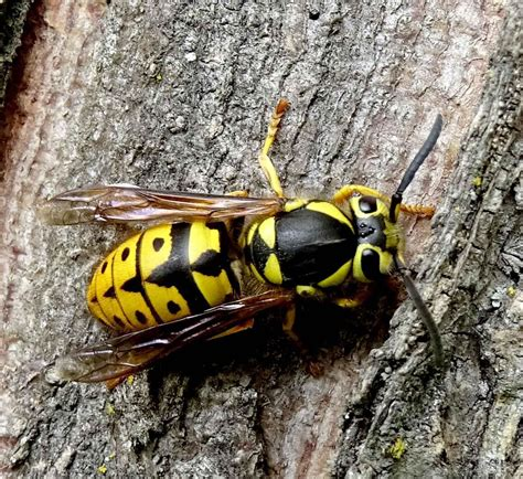 Yellow jacket stings What to do Medical News Today
