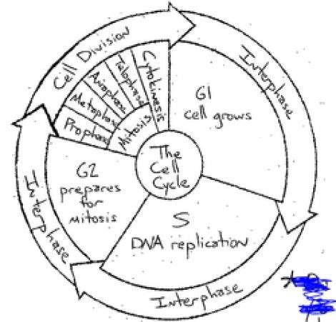 free download ebooks Cell Cycle Diagram With Answers