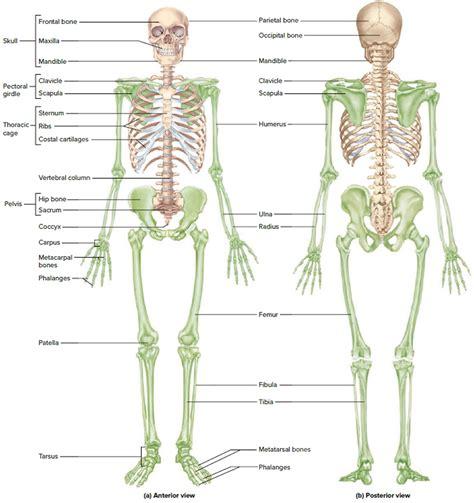 free download ebooks Diagram Of Skeletal System Of Human Body