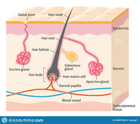 free download ebooks Diagram Of Sweat Gland Hair