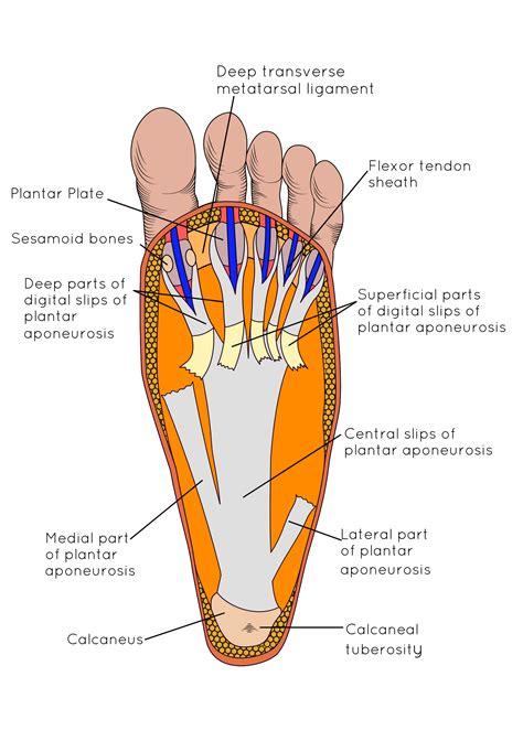free download ebooks Foot Region Anatomy Diagram