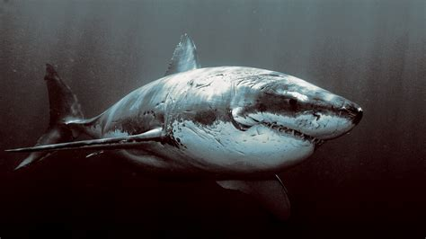 great white shark Wallpapers HD Desktop and Mobile