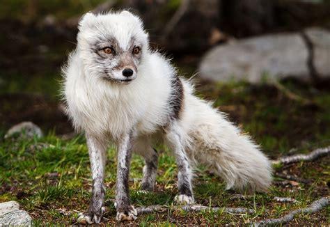 photos of hardy tundra animals National Geographic