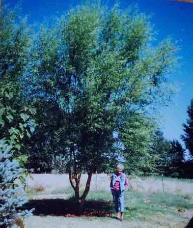 www aussiewillow FAST GROWING TREES UP TO 10 FEET IN THE