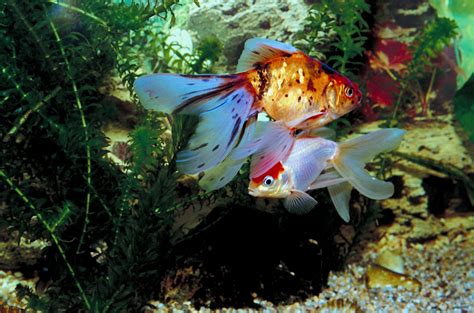 Can You Keep Goldfish and Tropical Fish Together