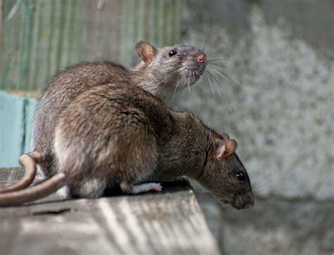Le Rat Epubpdf