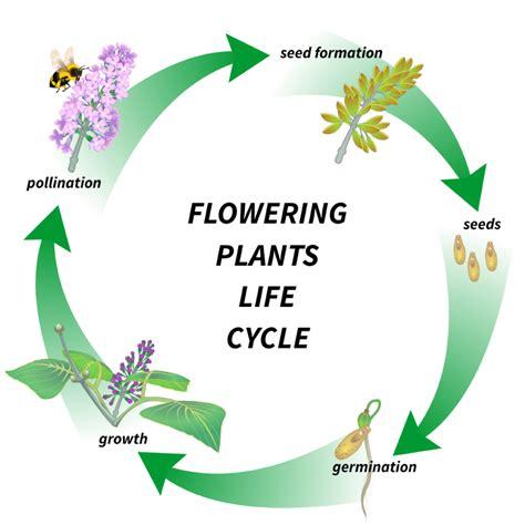 Life Cycle Flower Diagram (ePUB/PDF) Free