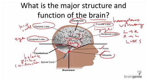 Structure And Function Of The Neural Cell Adhesion Molecule Ncam ...