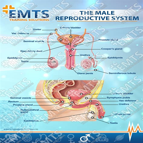 The Reproductive System (ePUB/PDF)