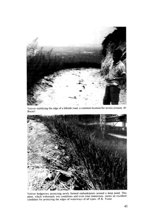 Vetiver Grass A Thin Green Line Against Erosion