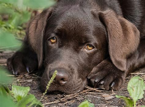 Augenfarbe Labrador Braun