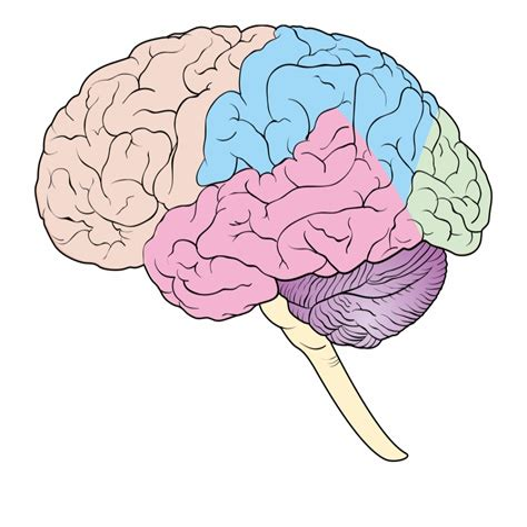 Brain Diagram No Labels Clinical Anatomy
